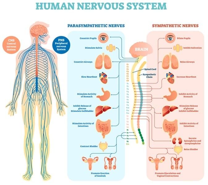 Hilliard Chiropractor Nervous System